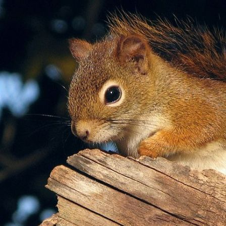 480px-Ecureuil_roux_--_Red_Squirrel__close-up_.jpg